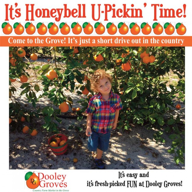 Dooley Groves Country Farm Market & U-Pick Honeybell Grove
