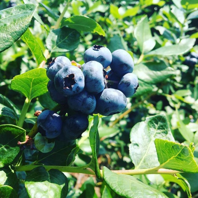 Beck Brothers Blueberries-You Pick