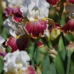 Pleasants Valley Iris Farm