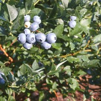 Massachusetts Cultivated Blueberry Growers Association