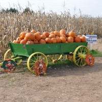 Pumpkin Junction Corn Maze