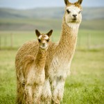 Northern Rocky Mountain Alpacas