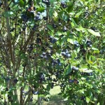 Blue Tara Organic PYO Blueberry Farm
